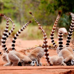 Ring-tailed Lemurs (2)
