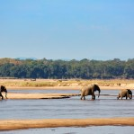 Luangwa river scene with elephants