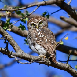 Pearl-spotted Owlet (1)