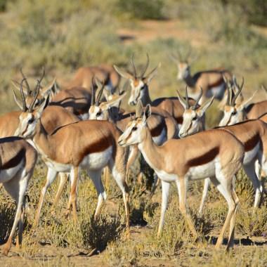 Springbok herd