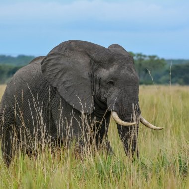 African-Elephant-in-Queen-Elizabeth - Copy