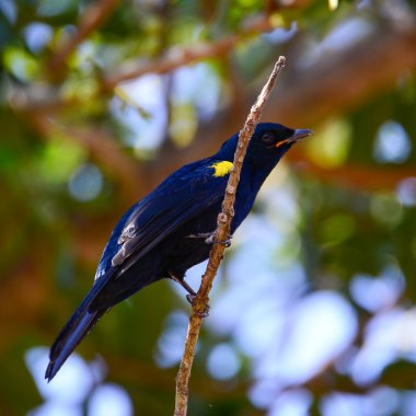 Black-Cuckooshrike-at-Arusha