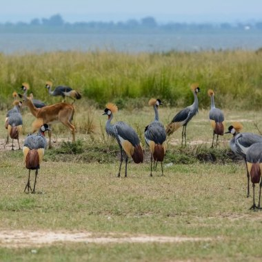 Grey-Crowned-Cranes-in-Murchison-Falls