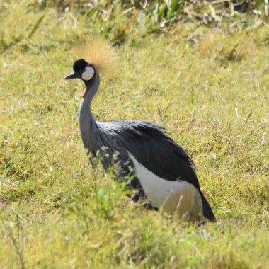 Grey-crowned-Crane-in-Ngorongoro - Copy