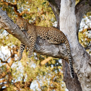 Leopard-in-South-Luangwa,-Zambia