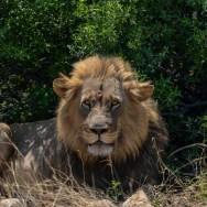 Lionin-South-Africa-2