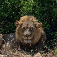 Lionin-South-Africa-2