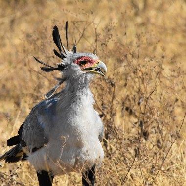 Secretarybird-in-Mkomazi
