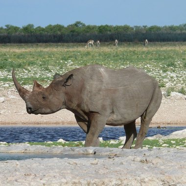 Etosha---Black-Rhinoceros - Copy