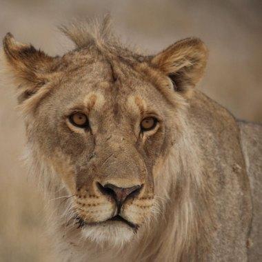 Etosha---Lion - Copy