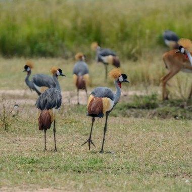 Grey-Crowned-Cranes-in-Hwange