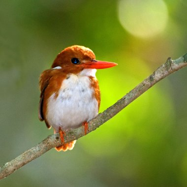 Madagascan-Pygmy-Kingfisher