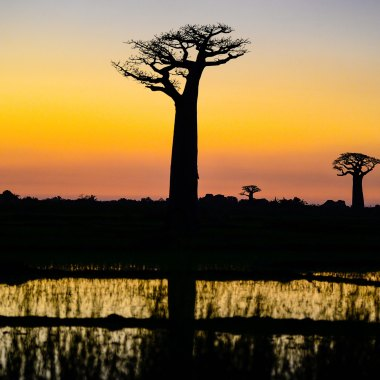 Sunset-with-baobabs