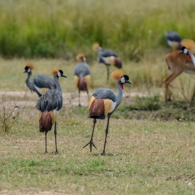 Grey-Crowned-Cranes-in-Hwange