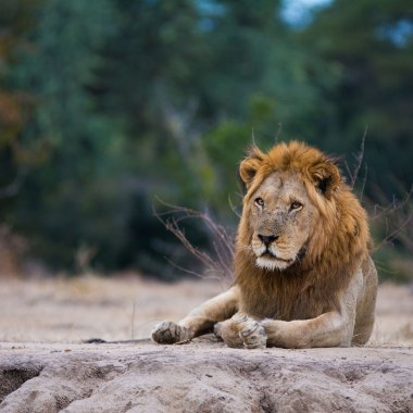 Lion-in-Hwange