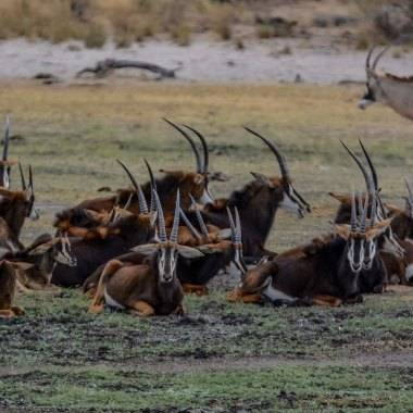 Sable-and-Roan-Antelopes-in-Mudumu