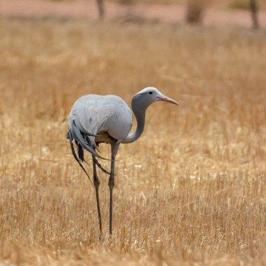 Namibia Endemics