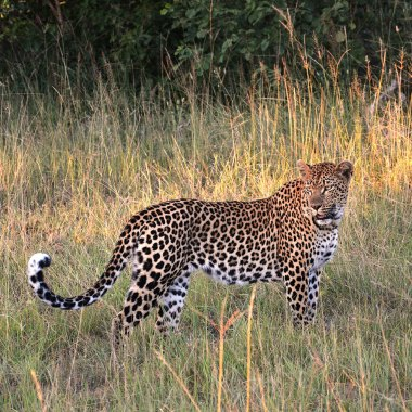 Leopard-in-Mana-Pools
