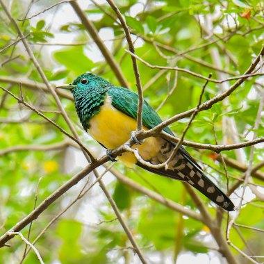 African-Emerald-Cuckoo
