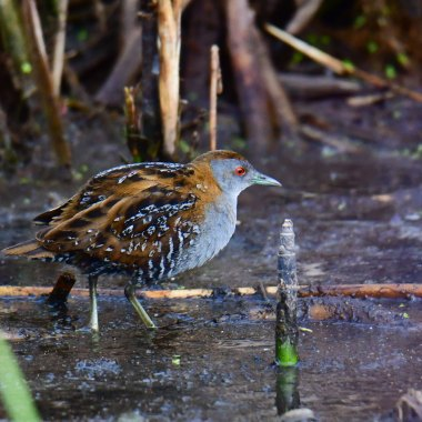 Baillon's-Crake-in-the-wetlands-of-Harare