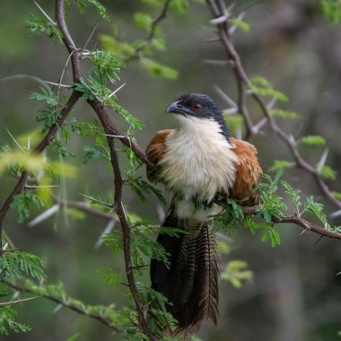 Burchell's-Coucal-in-the-Honde-Valley