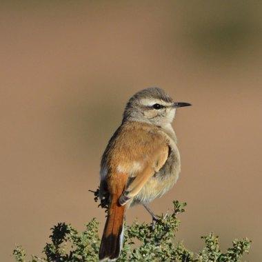 Kalahari-Scrub-Robin