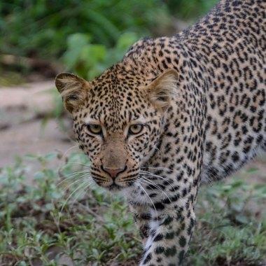 Leopard-female