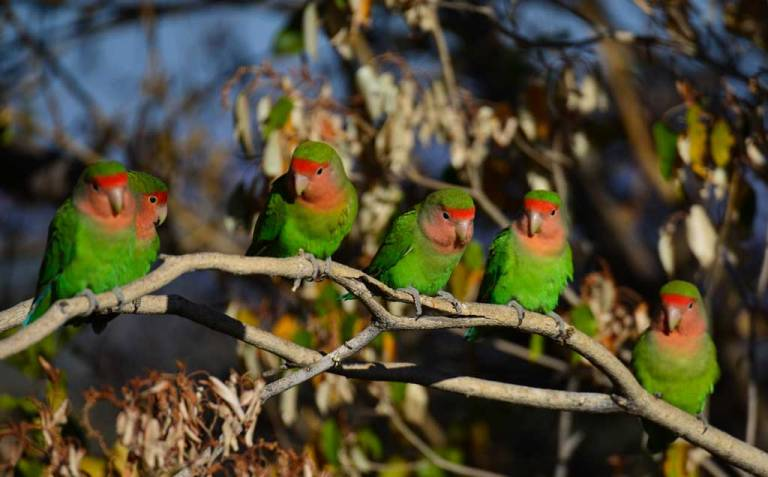 Nature-Travel-Namibia-Rosycheeked-lovebirds-NM6_1665-2