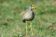 African Wattled Lapwing
