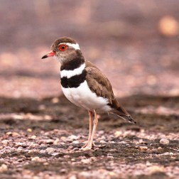 Forbes Plover