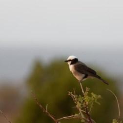 White-crowned Shrike