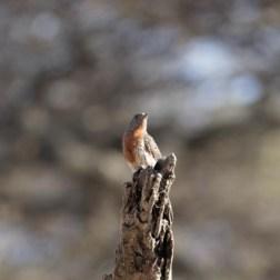 Rufous-throated Wryneck