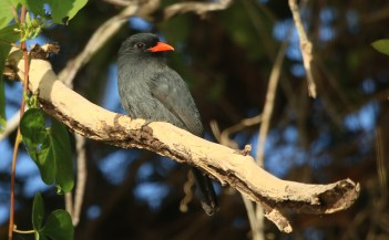 Black-fronted Nunbird (A Foster)