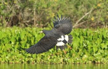 Great Black Hawk (A Foster)