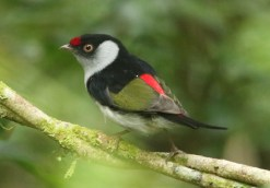 Pin-tailed Manakin (A Foster)