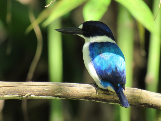 Blue-and-white Kingfisher.
