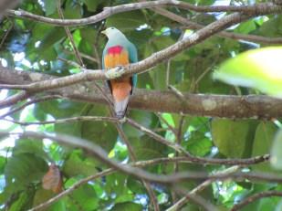 Scarlet-breasted Fruit-dove