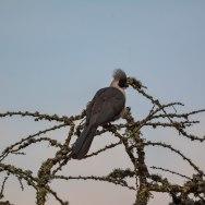 Bare-faced Go-away-bird. Lake Mburo._