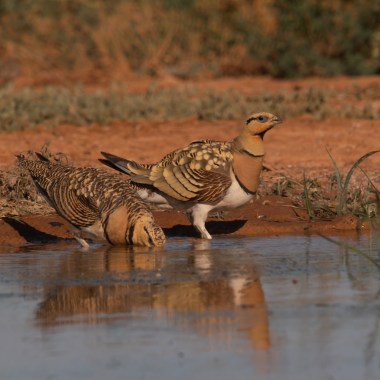 Pin-tailed Sandgrouse (3)