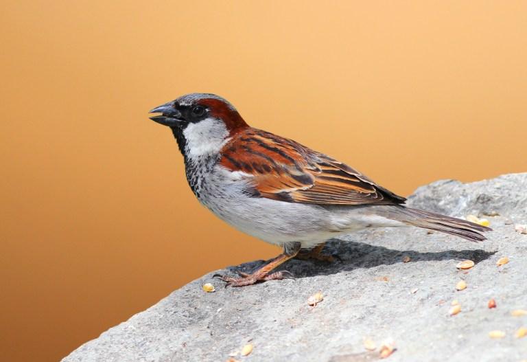 House Sparrow.jpg