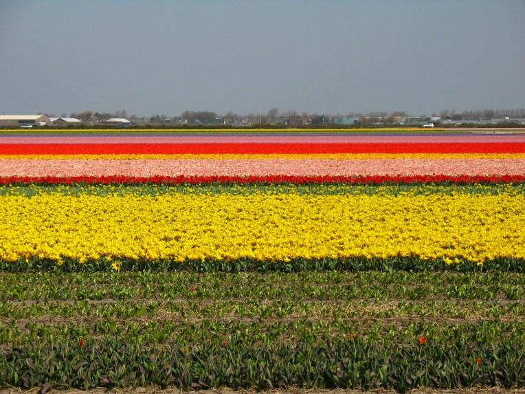 Dutch flower fields on tour with Nature Travel Birding