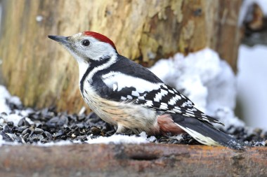 Middle Spotted Woodpecker on tour with Nature Travel Birding in Netherlands