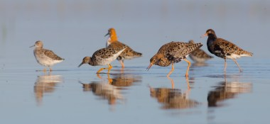 Ruffs on tour with Nature Travel Birding in Netherlands
