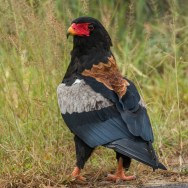Bateleur with Nature Travel Birding in Africa