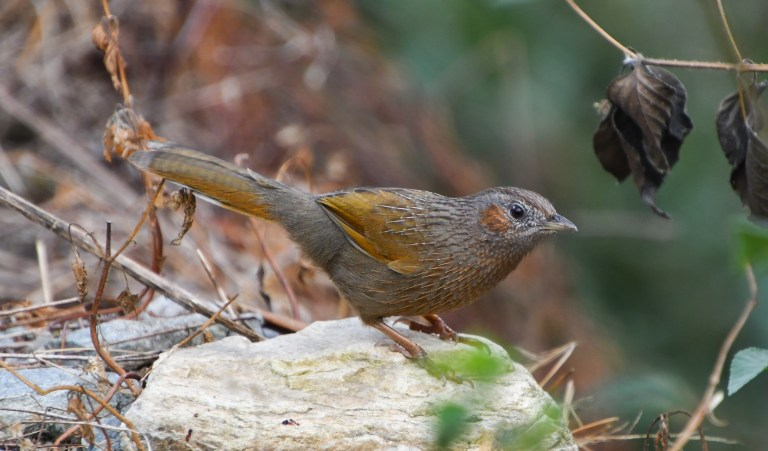 Streaked Laughingthrush with Nature Travel Birding