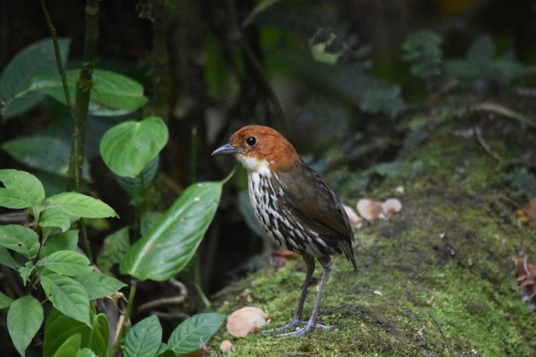 Chestnut-crowned Antpitta (5).JPG