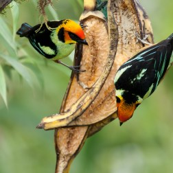 Chestnut-breasted Chlorophonia
