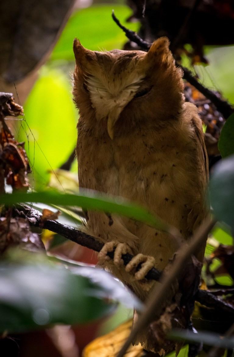 Serendib Scops Owl.jpg