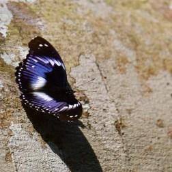 Butterflies of Ghana (14)