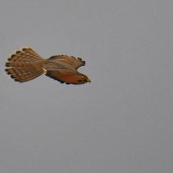 Grasshopper Buzzard (2)